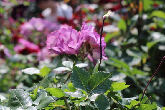 ブルー フォー ユーは中輪四季咲き品種です