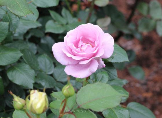 ブルー ライトは剣弁高芯咲きで花径は12cm位です