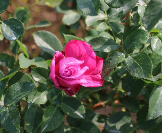 ブルー パフュームの花色は赤みのある藤色です