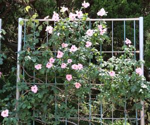 つる デンティ ベスは返り咲き品種
