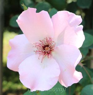 つる デンティ ベスは一重咲きの花弁