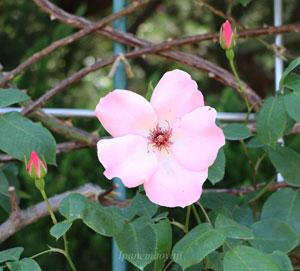 つる デンティ ベスの花径は約10cmの大輪サイズ