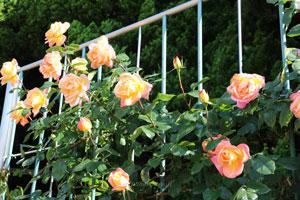 つるグランメール ジェニーの花形は半剣弁高芯咲きです