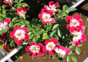 つる リトル アーティストの花形は丸弁杯状咲きです