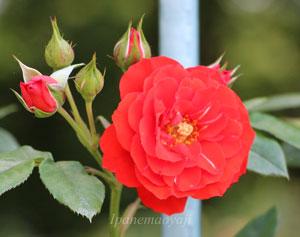 つるオレンジ メイアンディナの花形は丸弁平咲きです