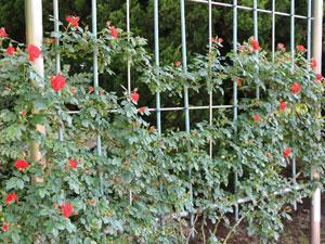 つるオレンジ メイアンディナは返り咲き品種です