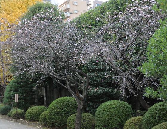 十月桜 小雪のちらつく吉祥寺境内にて