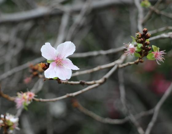 吉祥寺で咲いていた十月桜