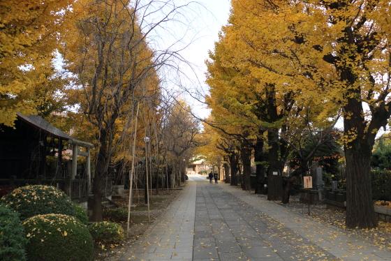 駒込吉祥寺境内の銀杏並木