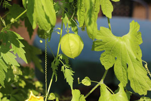 ニガウリの英名はbalsam pear です