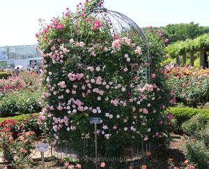 つる桜霞は半剣弁平咲きです