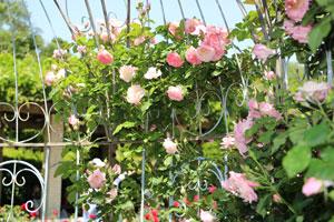 つる桜霞は返り咲き品種