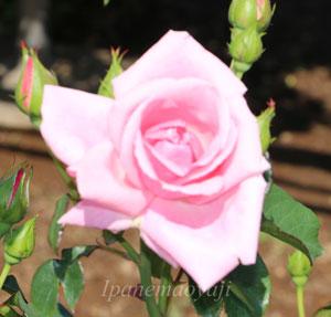 コンテス・ヴァンダルは四季咲きです