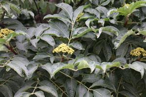ゴシュユは落葉高木です