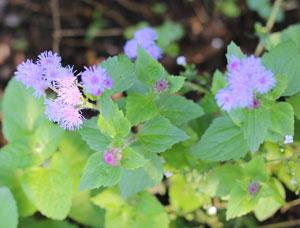 アゲラタムは夏から秋まで開花する