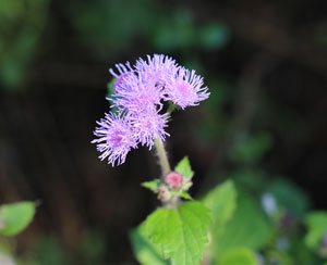 アゲラタムの花色はアザミに似ている