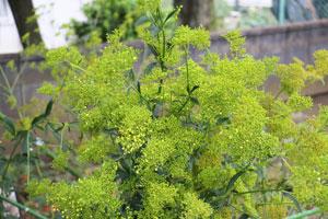 オミナエシはオミナエシ科オミナエシ属のハーブ