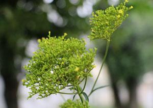 オミナエシは平安の昔から利用された漢方です