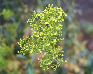 オミナエシは秋の七草の一つです