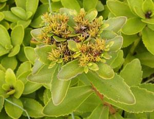 キリンソウは若葉や芽を食用にするハーブです