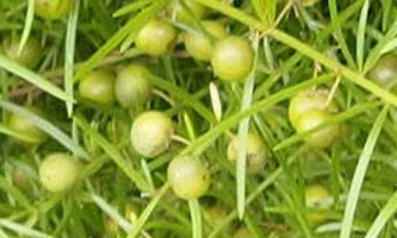 クサスギカズラはユリ科(キジカクシ科)クサスギカズラ属です