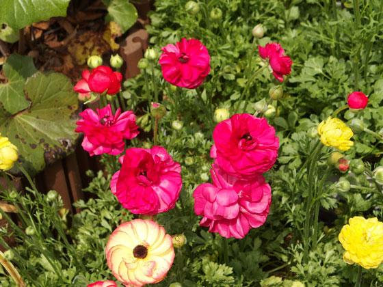 ラナンキュラスは鉢植えにも向いている