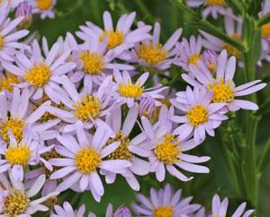 シオンの開花期は9月中旬~10月です