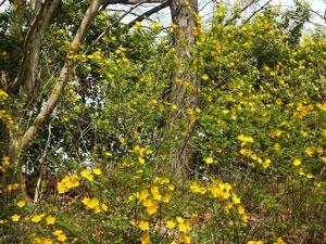 ヤマブキの学名はKerria japonicaです