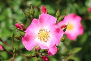 クンバヤは四季咲きです