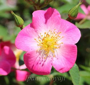 クンバヤはシュラブ系統のバラ