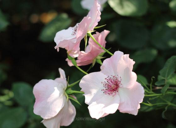 デンティ ベスは一重咲きです