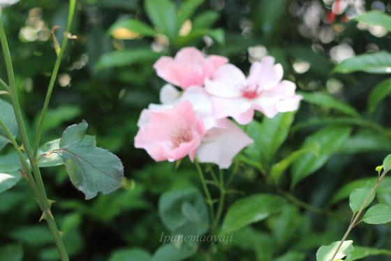 デンティ ベスは大輪花です