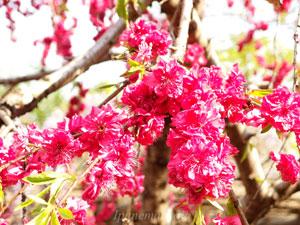ハナモモは観賞用の園芸品種です