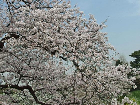 千鳥ヶ淵の桜 満開の下で宴会を開く人多数