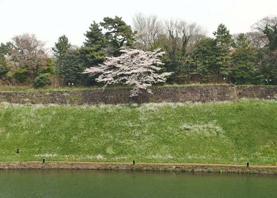千鳥ヶ淵の桜 皇居のお濠端