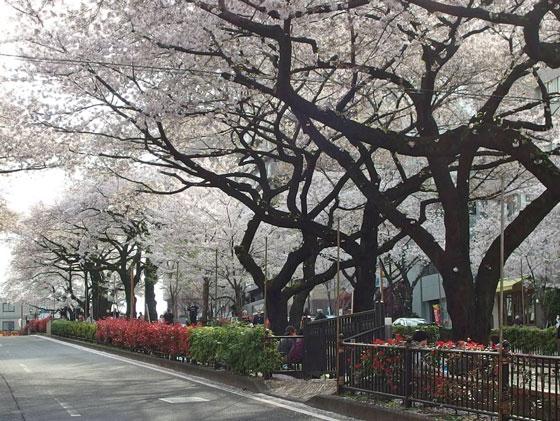 桜並木の下を桜吹雪が舞う