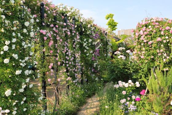 多くのイングリッシュローズ必須が栽培されている