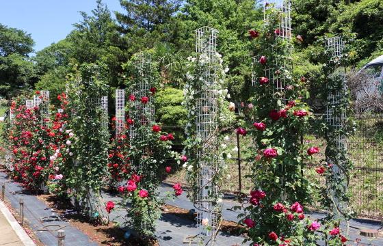 生田緑地ばら苑 2016年の春バラ