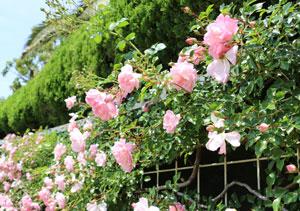 フランソワ ジュランヴィルは巨大なつるバラに生長する