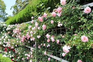 フランソワ ジュランヴィルは一季咲き品種です