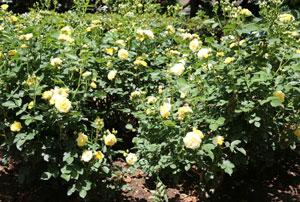 ゴールデン・ボーダーは強健で花つきがとてもよい品種です
