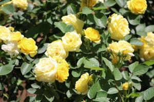 ゴールデン・ボーダーは四季咲き性です
