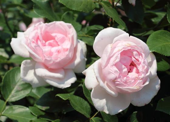 プリトリアノンはフロリバンダ系統のバラ
