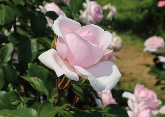 プチトリアノンの花色は明るいピンク色です