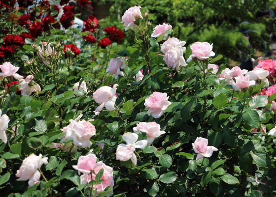 プチトリアノンは四季咲き性の品種です