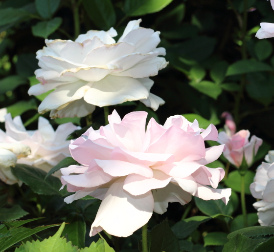 ア・ホワイター・シェード・オブ・ペールの花径は9cm前後