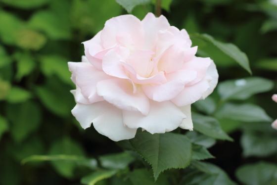 ア・ホワイター・シェード・オブ・ペールは四季咲き性