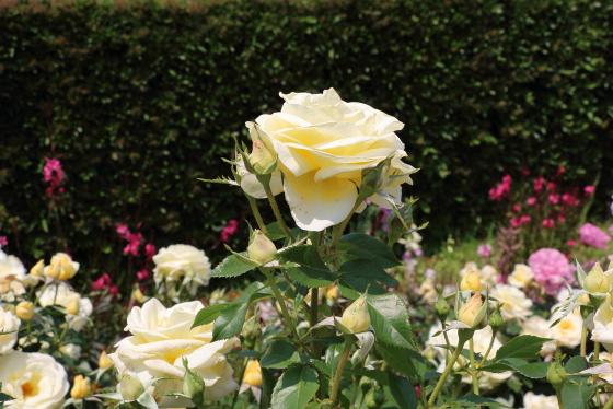 アンドレ・グランディエは黄色系の大輪バラ