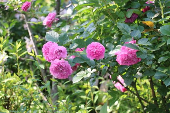 ブルー・ボーイは四季咲き性です