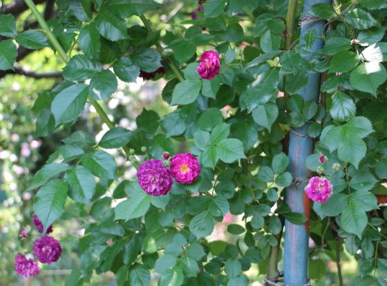 ブルー・マジェンタは一季咲きです